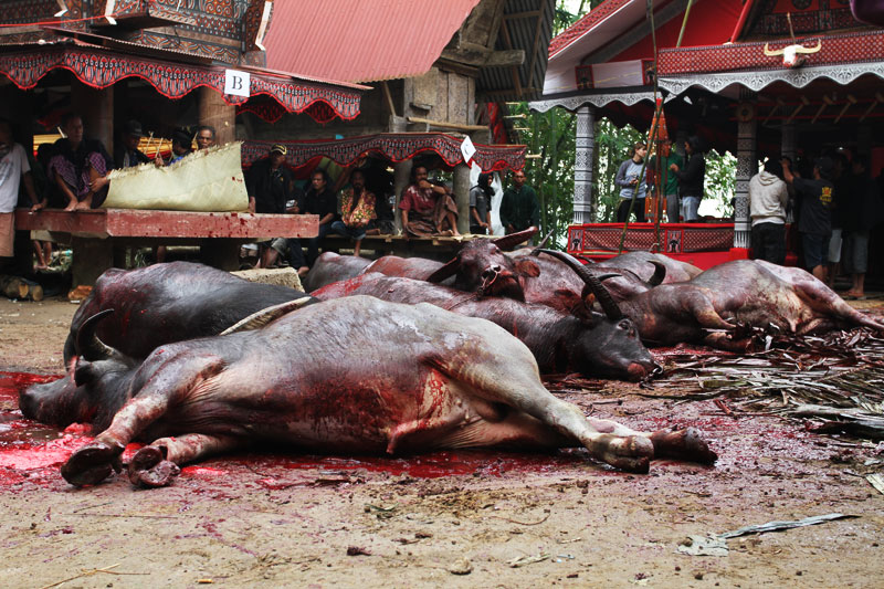 Nine sacrificied buffalo at a funeral ceremony