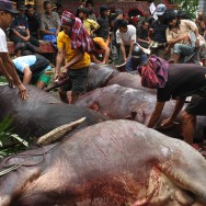 Slaughtering of sacrificed buffalos, Sulawesi